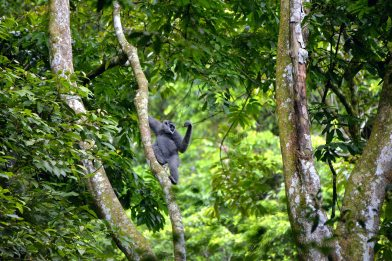 Male gibbon on branch