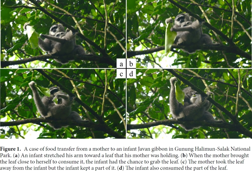 Gibbon behavioural ecology