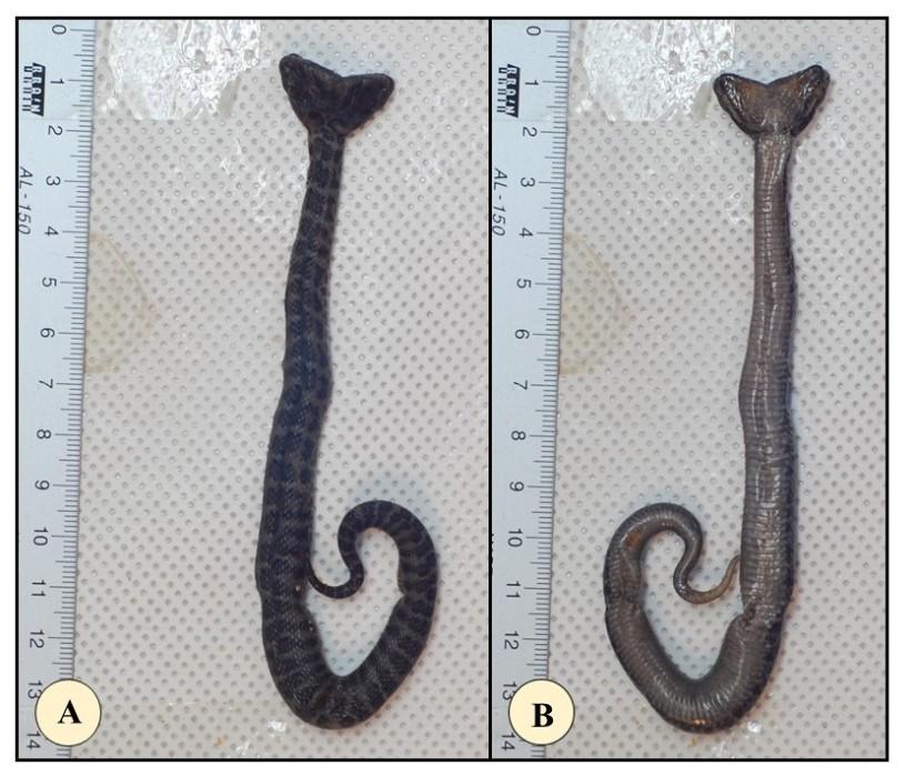 Gloydius dicephalism note figure